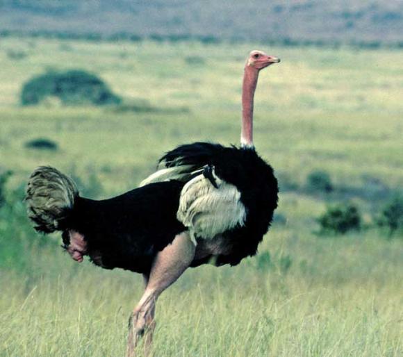 http://terre-a-terre.cowblog.fr/images/autruche012.jpg