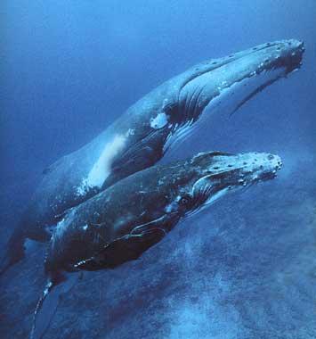 http://terre-a-terre.cowblog.fr/images/baleinesabosses.jpg