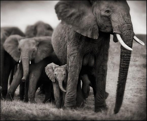 http://terre-a-terre.cowblog.fr/images/elephantmotherandtwobabiesparnickbrandt.jpg